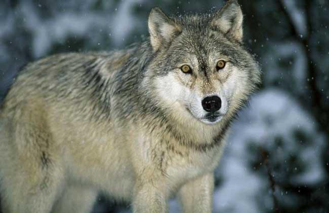 梦见狼是什么意思?