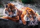梦见老虎是什么意思?