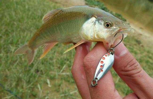 马口鱼多少钱一斤