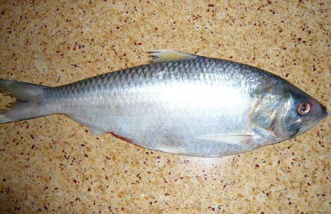 鲥鱼价格多少钱一斤?