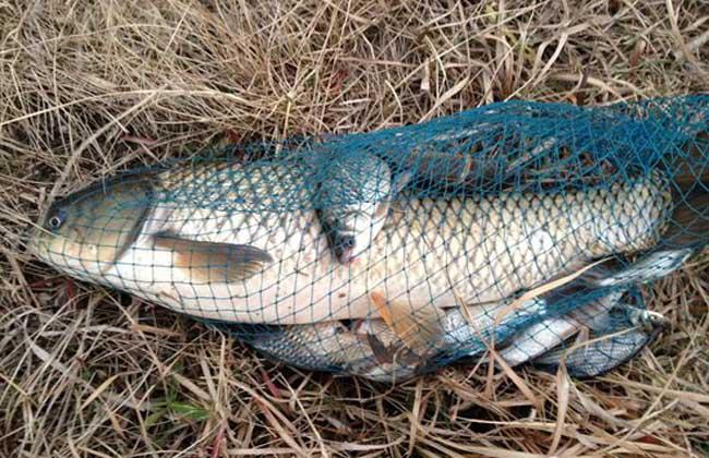 钓草鱼的技巧和方法