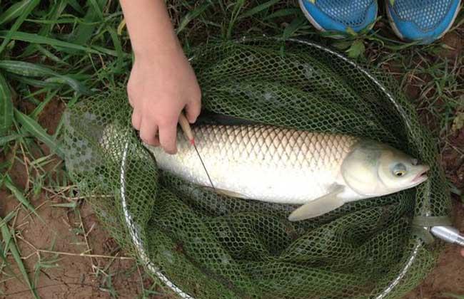 钓草鱼的技巧