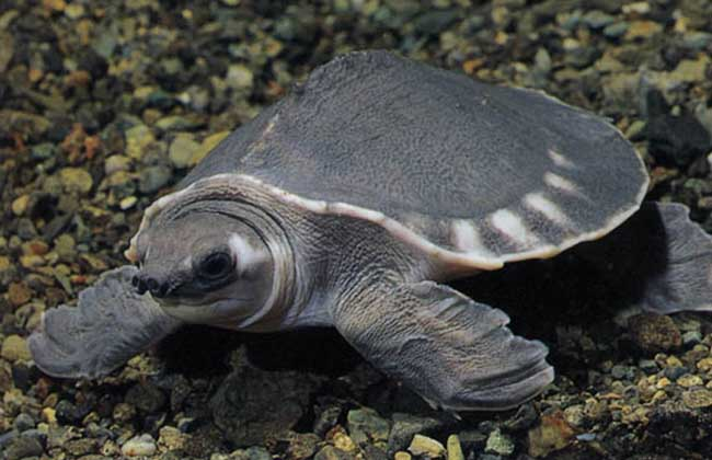 猪鼻龟多少钱一只