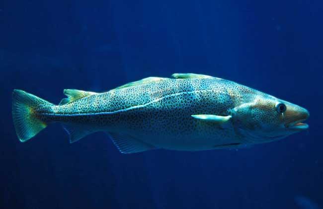 鳕鱼价格多少钱一斤?