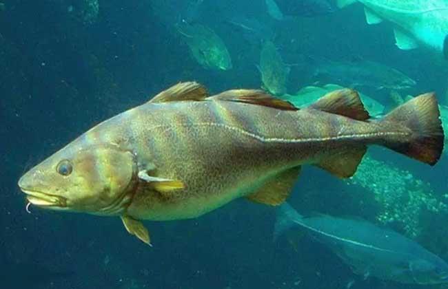 油鱼和鳕鱼的区别