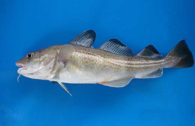 鳕鱼种类图片大全