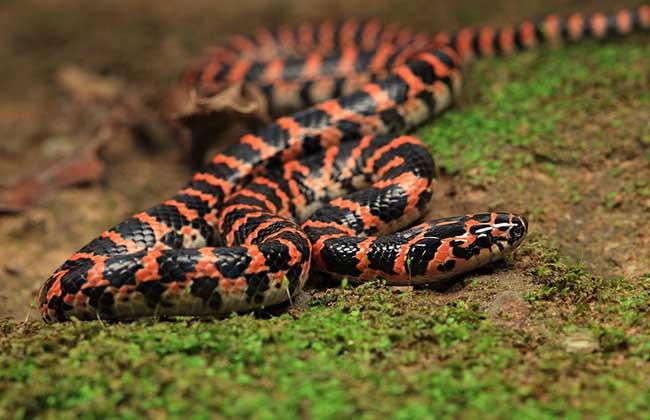 赤练蛇有毒吗