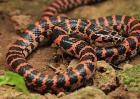 赤练蛇有毒吗?