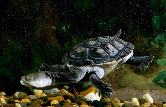 巨蛇颈龟多少钱一只