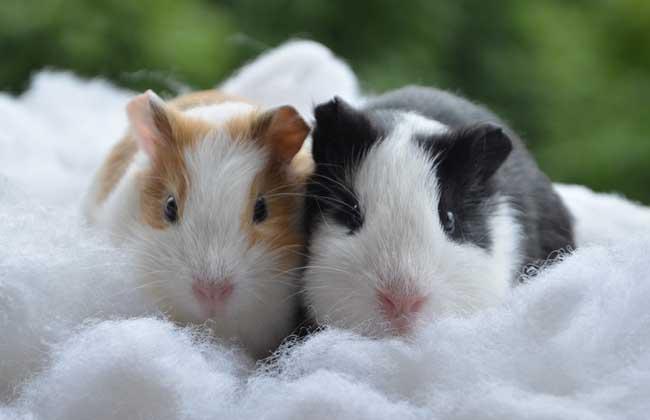 荷兰猪怀孕有哪些症状?