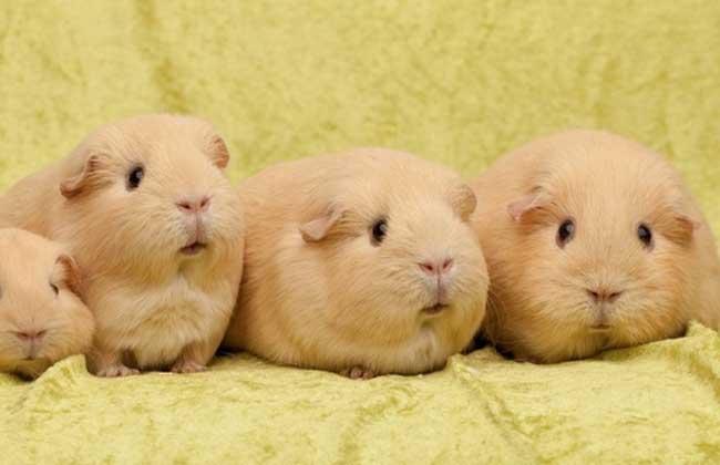 荷兰猪怀孕症状