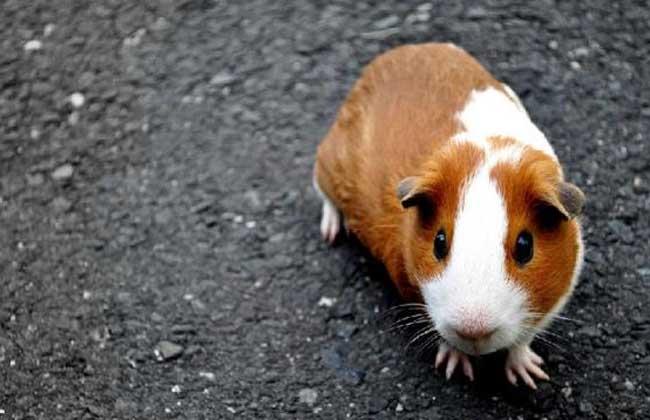 荷兰猪是老鼠吗?