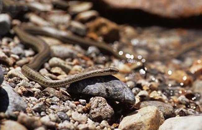 温泉蛇   温泉蛇是中国独有的珍稀蛇类,栖息在高原温泉附近的岩石洞穴或石堆中,冬、夏季都可以见到,温泉附近的石堆缝隙中常可以看见蛇蜕,也见它们在高原温泉附近的小河、沼泽中活动,以高山蛙、幼鼠兔、鱼类为食,雌蛇一次产卵6枚.