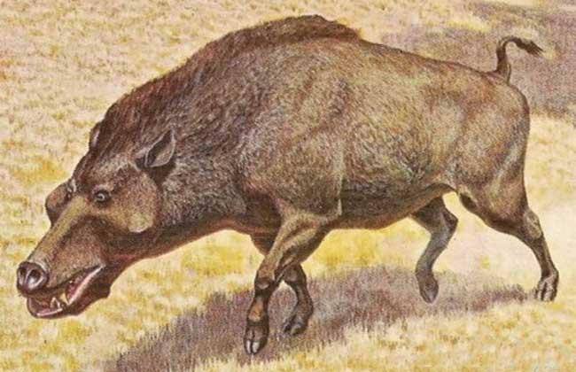 巨猪吃什么食物? 巨猪是主动猎食的动物,因为有足以压碎骨头的巨大牙齿。捕猎方法基本就是冲上去,然后咬一口。像推土机一样扫荡自己能找到的任何食物,为自己硕大的身体寻找足够多的能量。不会放弃任何补充动物蛋白的机会,无论是腐尸还是能捉到的弱小猎物。但研究者认为,巨猪是以吃植物为主的杂食动物!