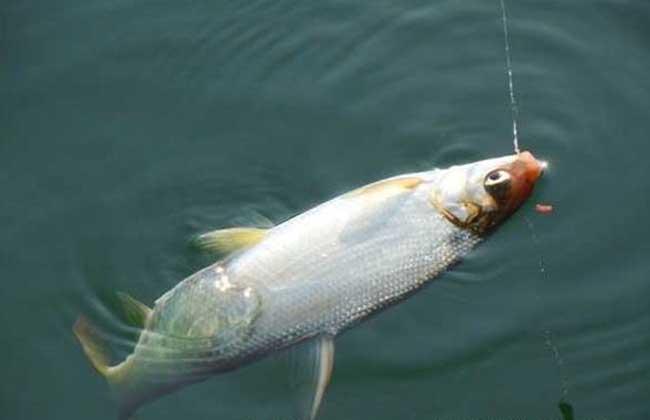 钓黄尾鱼饵料配方
