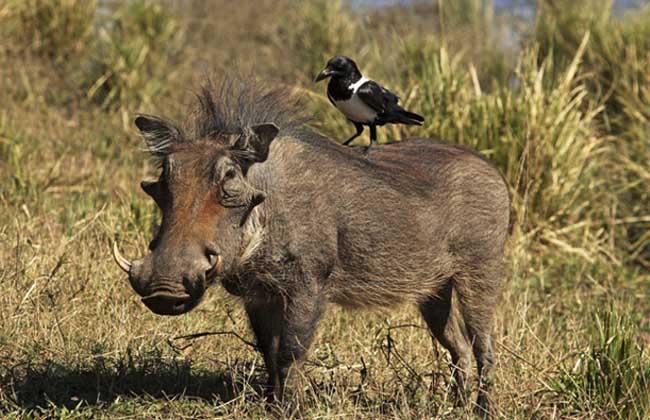 疣猪和野猪的区别