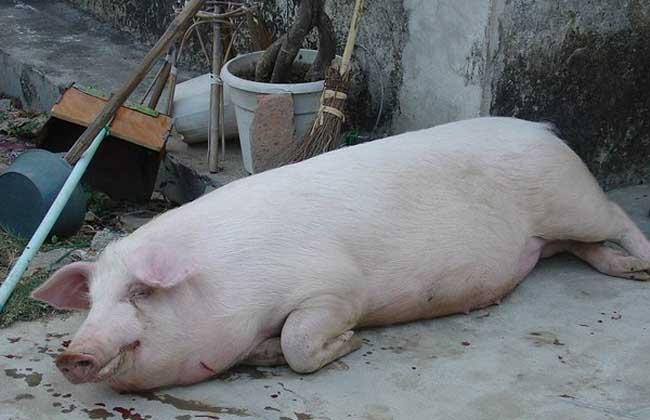 壁纸 动物 兔子 猪 650_420