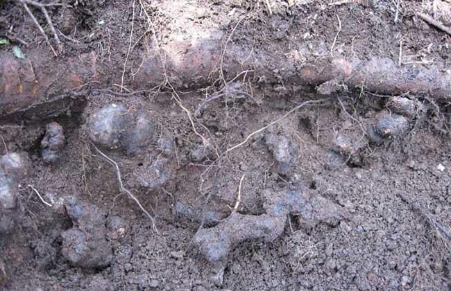 猪苓种植技术