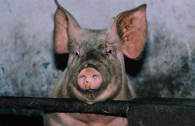 猪的寿命是多少年?