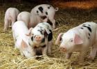 猪的种类图片大全