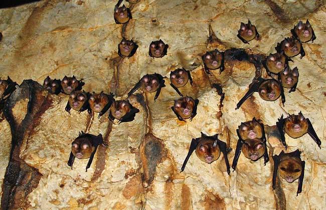 吸血蝙蝠一次吸多少血