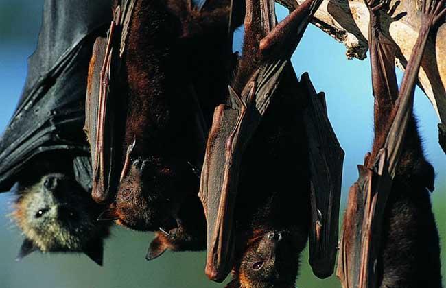 蝙蝠进屋有什么预兆