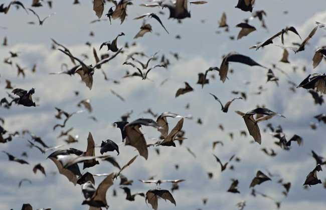 蝙蝠的种类图片大全