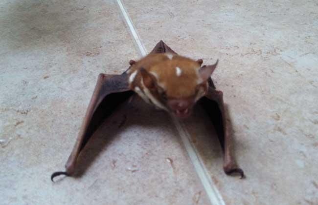 蝙蝠吃什么食物