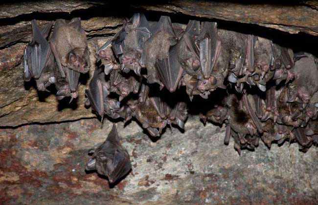 蝙蝠有哪些天敌?