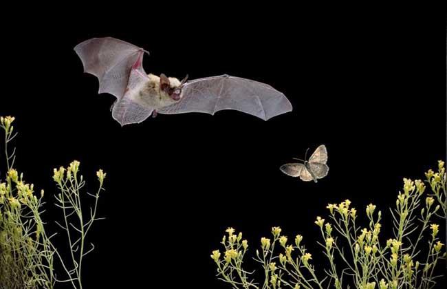 蝙蝠是老鼠变的吗?