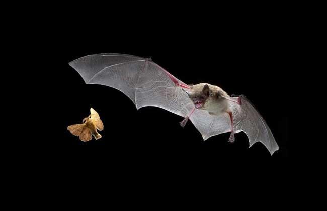 蝙蝠是老鼠变的吗