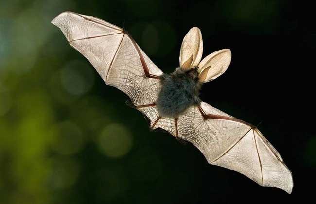 蝙蝠有眼睛吗?