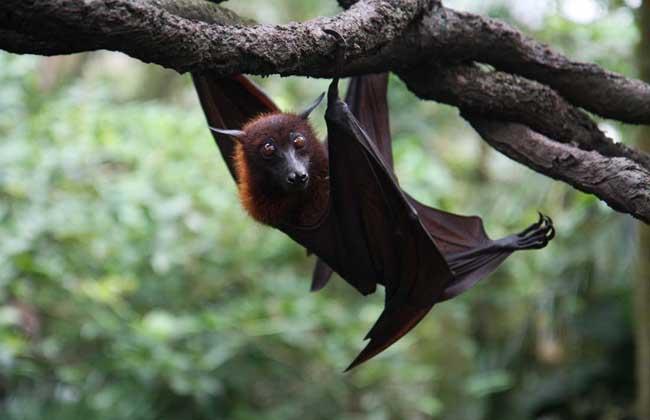 蝙蝠有眼睛吗