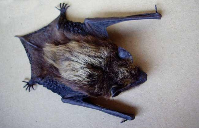 怎样驱赶蝙蝠