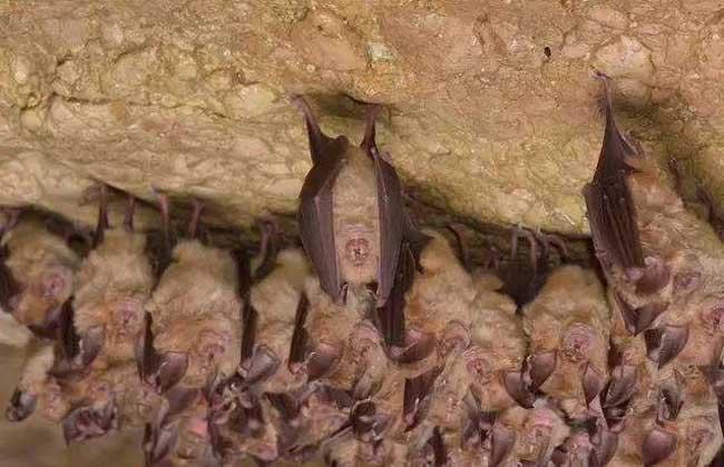 蝙蝠为什么倒挂着睡觉