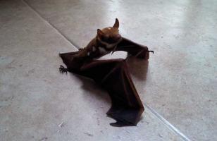 蝙蝠到底有没有毒?