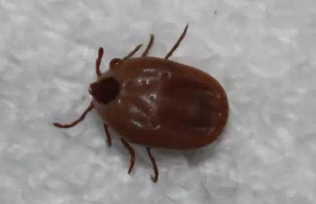 蜱虫的天敌是什么?