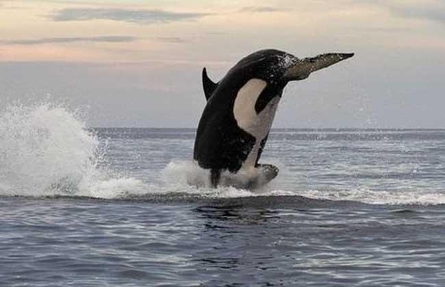 虎鲸为什么叫杀人鲸