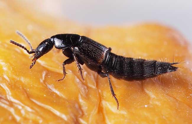 隐翅虫主要分布在哪个地区图片