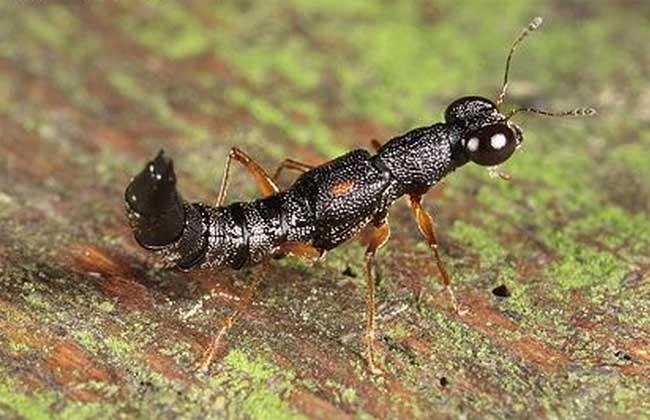 隐翅虫主要分布在什么地区图片