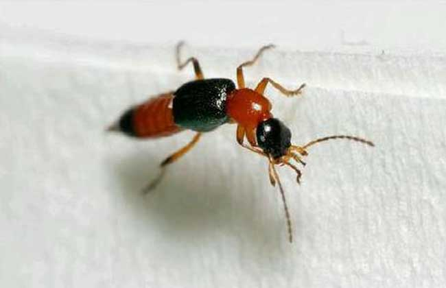 隐翅虫剧毒致命是真的吗