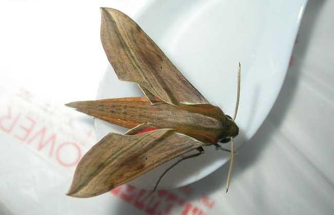 飞蛾是益虫还是害虫