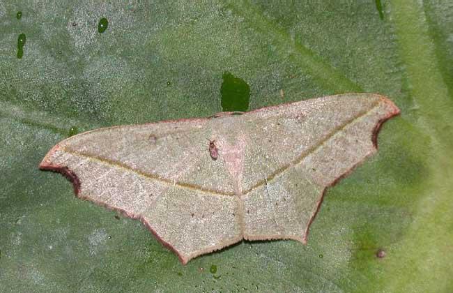 绿斑姬尺蠖蛾