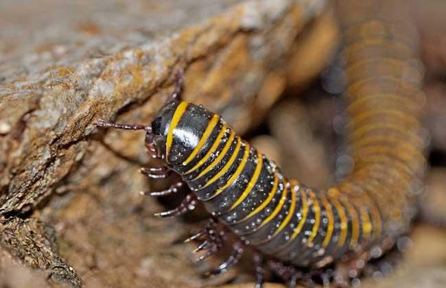 千足虫有毒性吗?