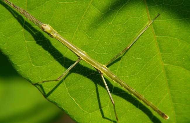 竹节虫有哪些天敌?