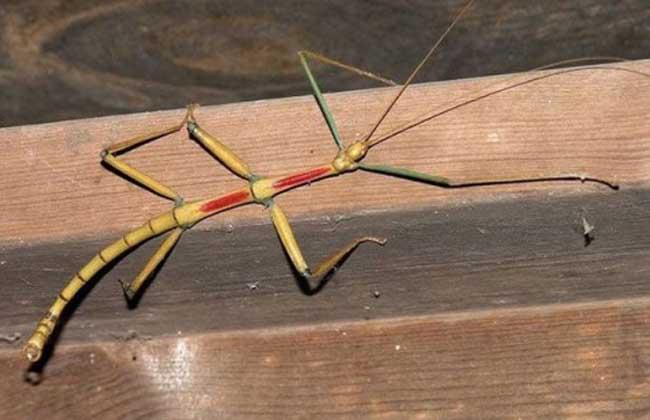 巨型竹节虫