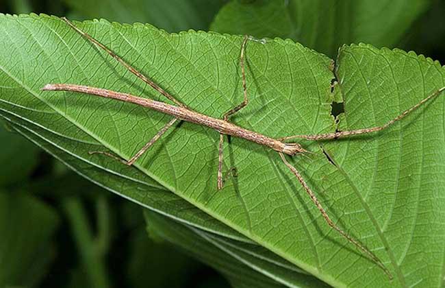 棉杆竹节虫
