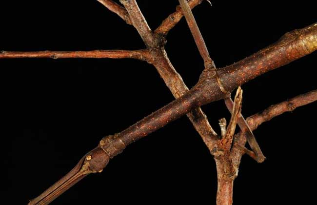 莫氏瘤竹节虫