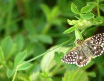 飞蛾的种类及图片大全