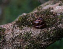 马陆虫种类及图片大全